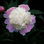 Peony by Penny Rinker