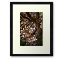 Baby cow drinking from mountain stream Framed Print