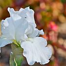 White Iris 1 by Carolyn Clark