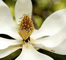 Southern Magnolia by Carol Bailey-White