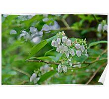 Blueberry blossom Poster