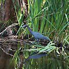 Little Blue Heron by Sandy Keeton