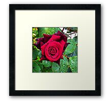 Red rose in an English garden Framed Print