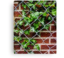 Ivy & the wall Canvas Print