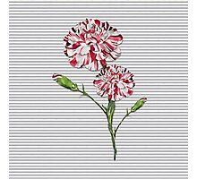 Candy Striped Carnation Photographic Print