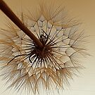 Dandelion in Sepia by Diane Arndt