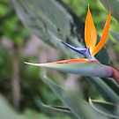 Young Bird of Paradise by giovonni808
