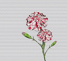 Candy Striped Carnation by Doreen Erhardt