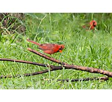 Male Cardinal on a branch Photographic Print