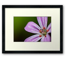 small pink flower Roberts herb Framed Print