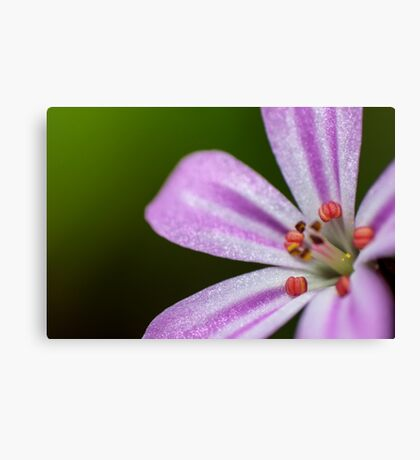 small pink flower Roberts herb Canvas Print