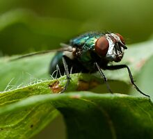 potrait of a green fly by stresskiller