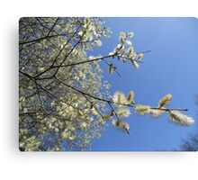 Pussy willow heaven Canvas Print