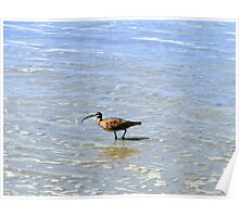 Whimbrel In The Galapagos Painting Poster