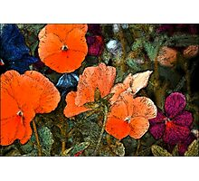 Pansy 10 Photographic Print