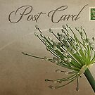 Post Card - Allium by © Kira Bodensted