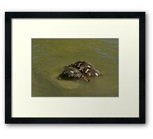 Three Mallard Ducklings Framed Print
