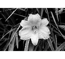 Day Lilly of the Night Photographic Print