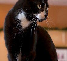 Elegant Tuxedo Cat Posing by NoblePhotosCard