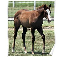 Quarter Horse Foal Watercolor   Poster