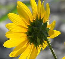 Sunflower and Katydid or Bush Cricket, I THINK! by Navigator