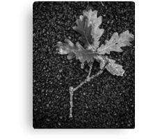 From the acorn tree Canvas Print