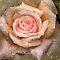 in 'Blooms (All Seasons Flowers) - 2 per day'