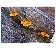 Mushrooms on frosty log, The Gorge, Launceston, Tasmania Poster