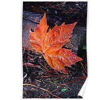 Autumn Leave on a frosty morning, The Gorge, Launceston, Tasmania Poster
