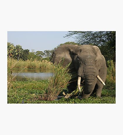 Elephant Eating in Malawi  Photographic Print