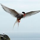 Tern attacking by ©The Creative  Minds