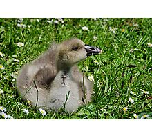 Young Gosling Photographic Print