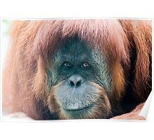 Orangutan - Adelaide Poster