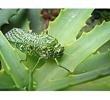 Silver-spotted Bladderhopper on an Aloe Photographic Print