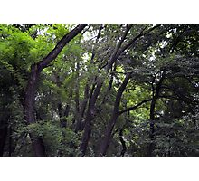Forest background with many trees tops with green leaves. Photographic Print