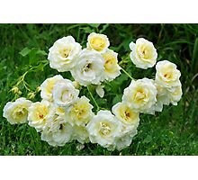 White roses in the garden. Photographic Print