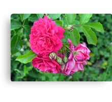 Pink roses and green leaves, natural background. Canvas Print