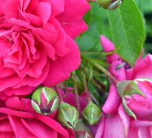 Pink roses and green leaves, natural background. Sticker