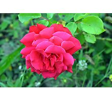 Pink rose and green leaves, natural background. Photographic Print