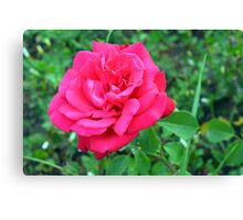 Pink rose and green leaves, natural background. Canvas Print