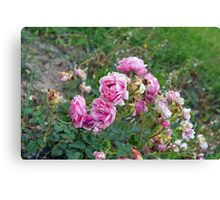Pink roses in the garden, natural background. Canvas Print