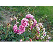 Pink roses in the garden, natural background. Photographic Print