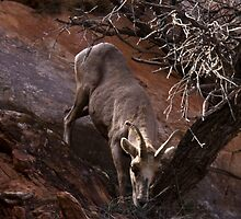 Bighorn Sheep Nibbling Brush in Zion Park by NoblePhotosCard