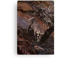 Bighorn Sheep Nibbling Brush in Zion Park Canvas Print