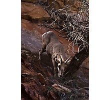 Bighorn Sheep Nibbling Brush in Zion Park Photographic Print