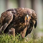 Golden Eagle by Alec Owen-Evans