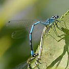 Common Blue Damselfly  by relayer51