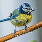 Blue Tit Bad Hair Day by Alec Owen-Evans