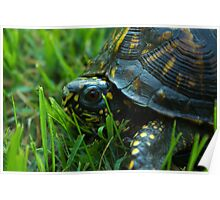 Da Backyard turtle Poster