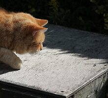 Ginger cat hunting a fly by turniptowers